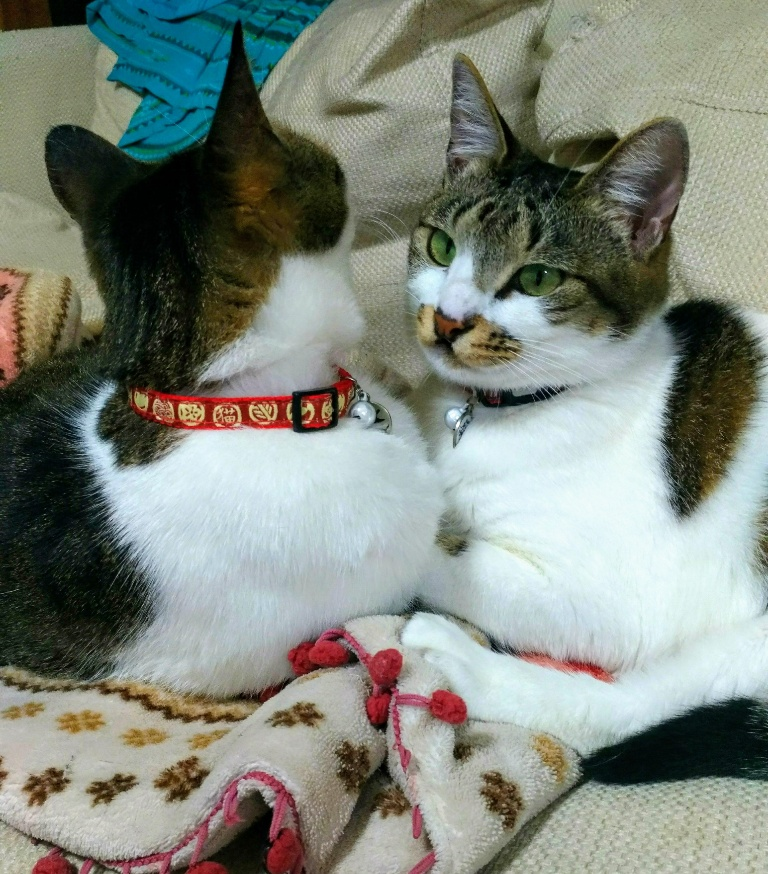 同居猫とたまには仲良く!【家猫たまちゃん】