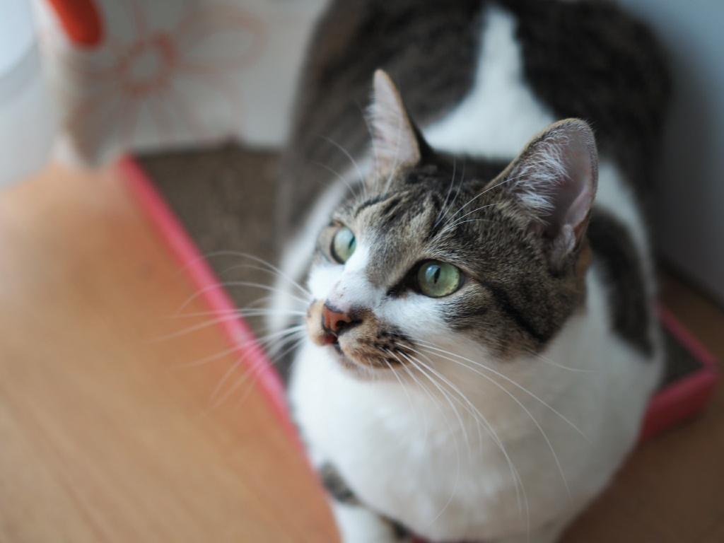 先住猫「チコちゃん」が初めて粗相する|新入り猫と先住猫を飼う時の注意点!
