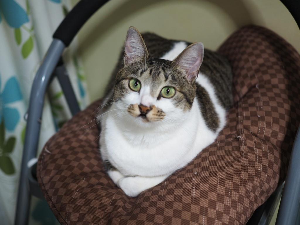 同居猫ロス|チコちゃんのお守り