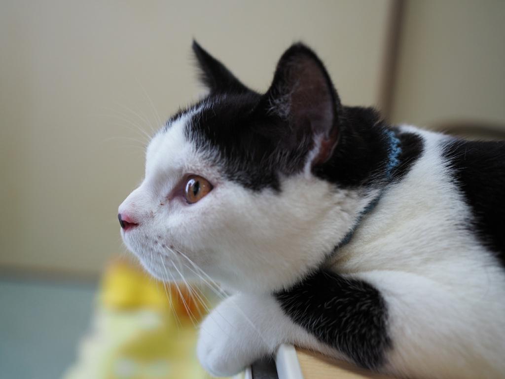 トイレトレーニングで「新入り猫たまちゃん」が誤解してしまったこと|トイレとチュール