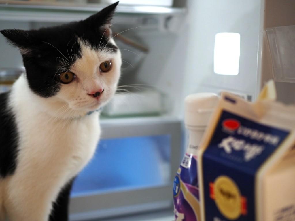 新入り猫たまちゃんと冷蔵庫