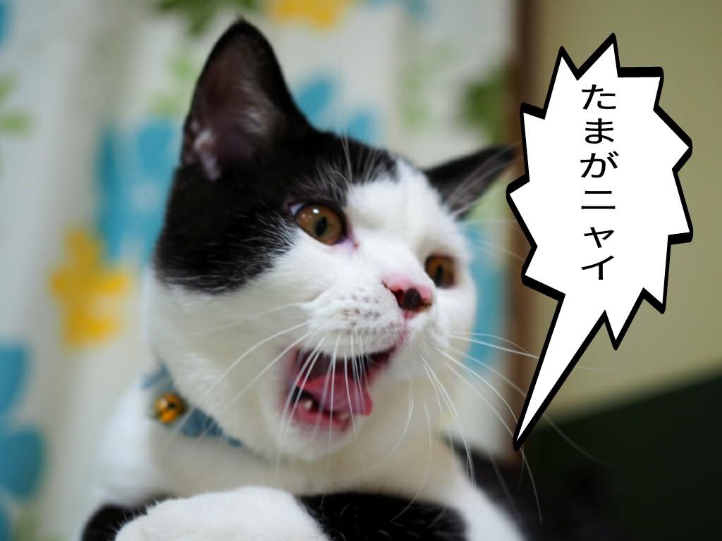 手術 費用 安い 猫 避妊