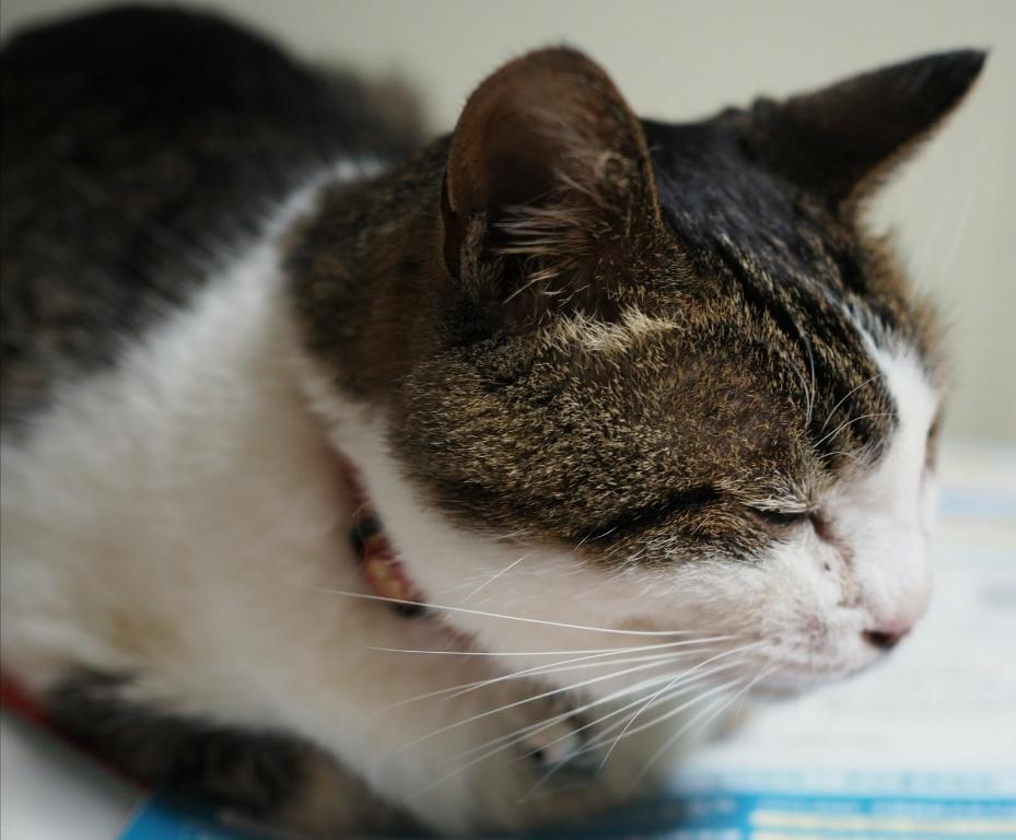 高齢猫は36時間の絶食が命とり 老猫のために介護食を準備しよう