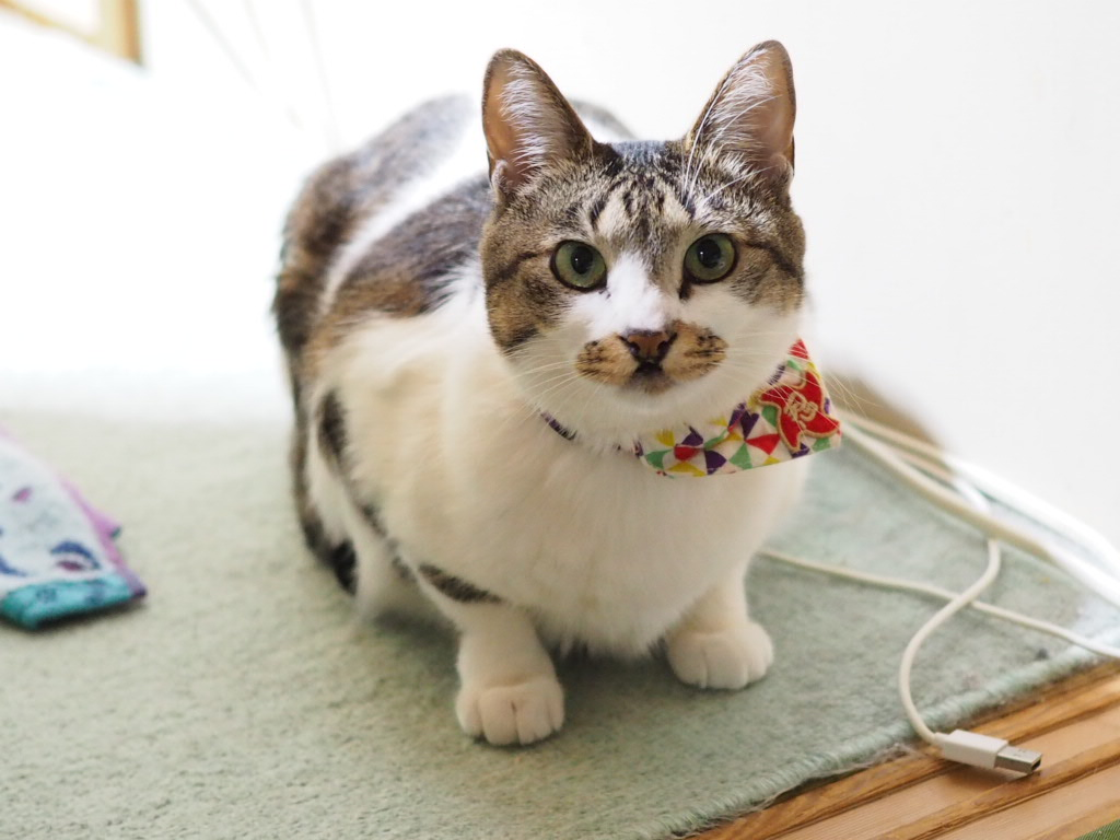 猫や犬は地震を予測できる?元ノネコのチコちゃん